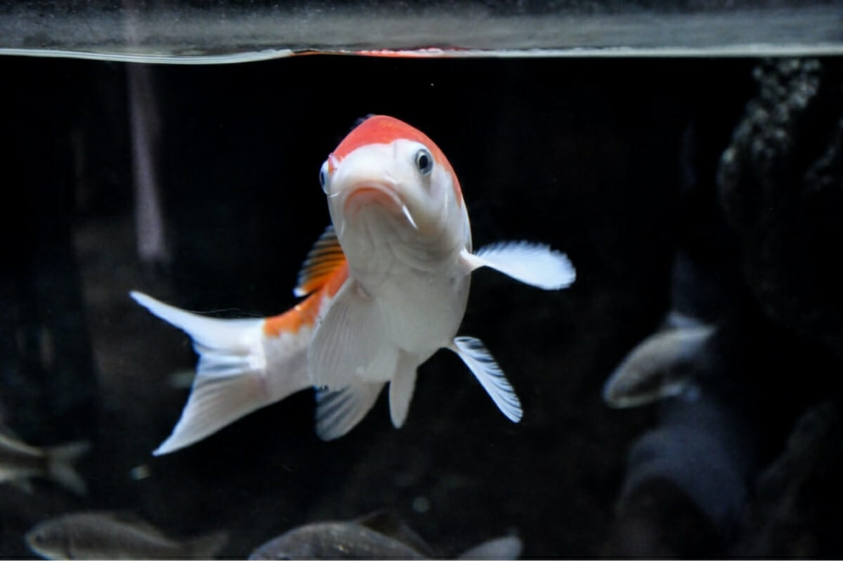 Can Koi Fish Live in Tanks