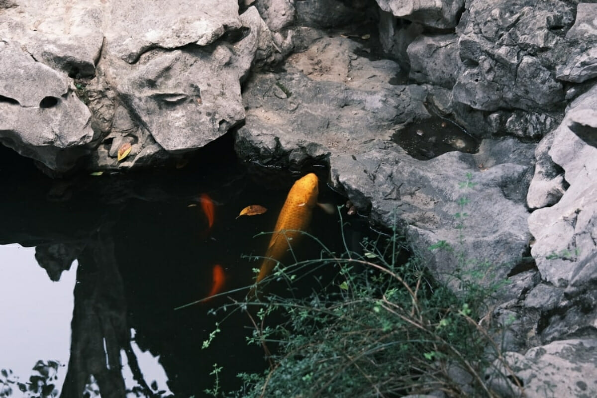 Can Koi and Goldfish Live Together