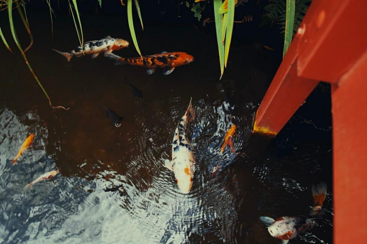 Do Koi Eat Other Fish