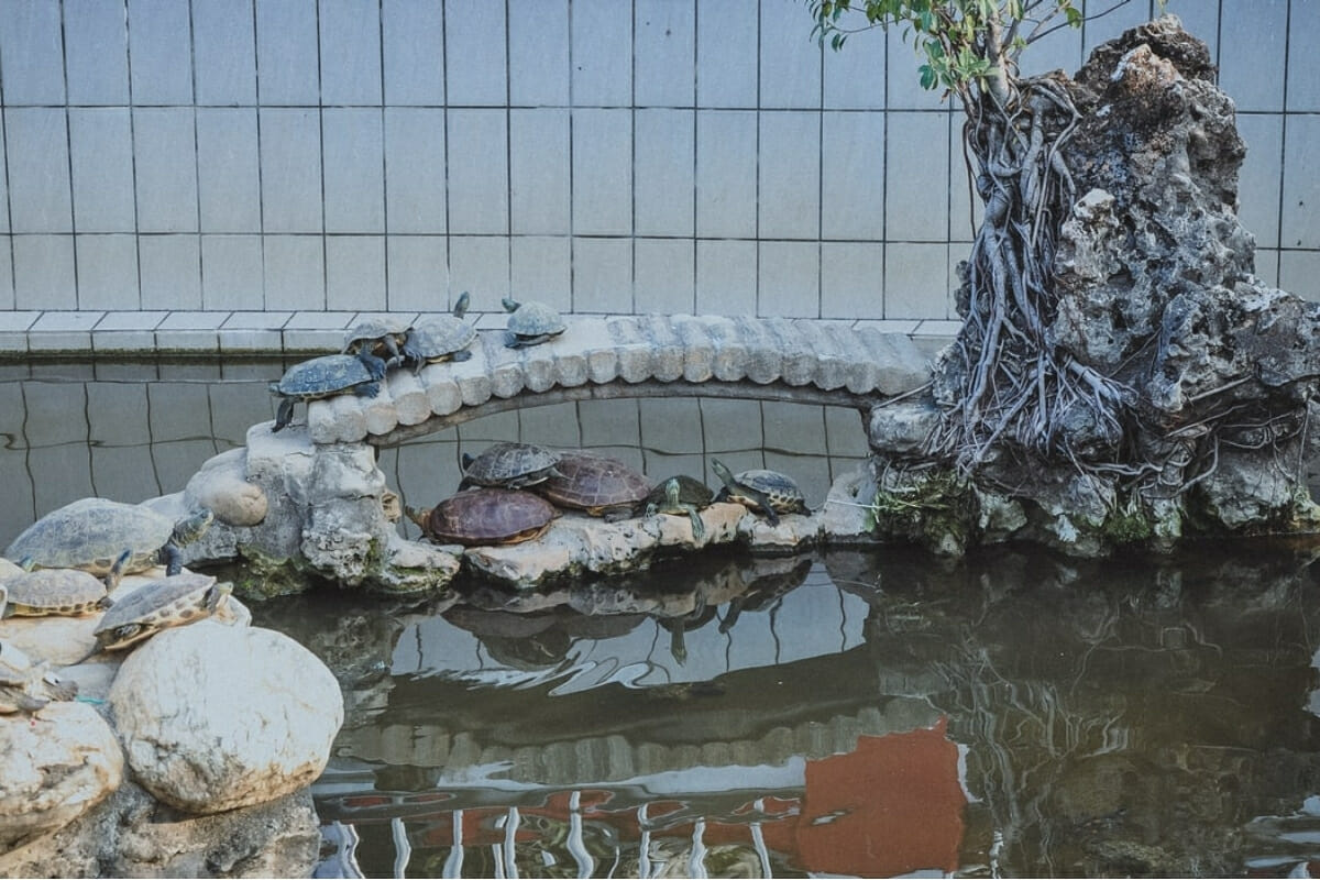 Turtle in Koi Pond