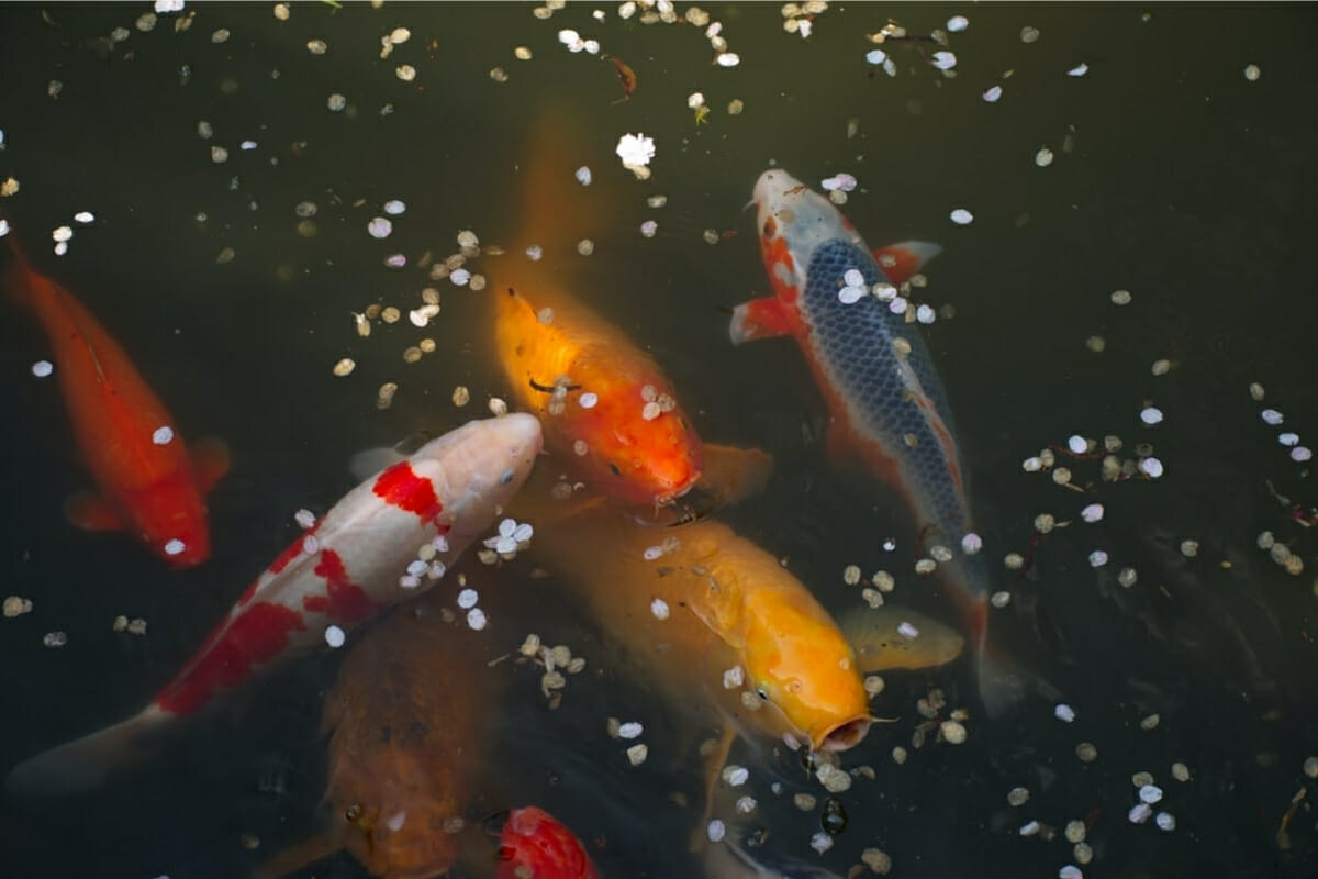 How Long Can Koi Fish Go Without Food